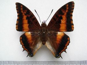 (Charaxes druceanus septentrionalis - BC-Turl-0359)  @15 [ ] Unspecified (default): All Rights Reserved  Unspecified Unspecified