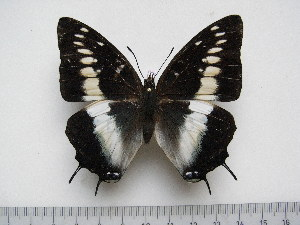 (Charaxes etesipe etesipe - BC-Turl-0370)  @13 [ ] Unspecified (default): All Rights Reserved  Unspecified Unspecified