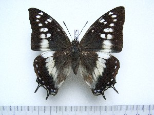 (Charaxes paradoxa - BC-Turl-0379)  @12 [ ] Unspecified (default): All Rights Reserved  Unspecified Unspecified