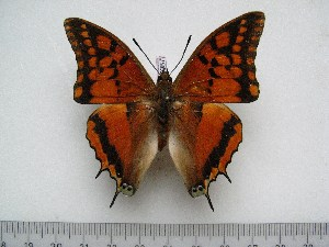 (Charaxes rectans - BC-Turl-0387)  @14 [ ] Unspecified (default): All Rights Reserved  Unspecified Unspecified