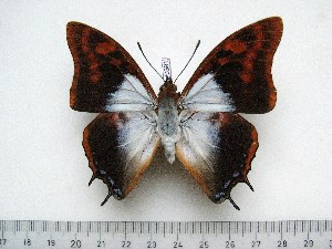 (Charaxes lactetinctus lactetinctus - BC-Turl-0391)  @14 [ ] Unspecified (default): All Rights Reserved  Unspecified Unspecified