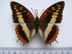 (Charaxes cynthia cynthia - BC-Turl-0397)  @14 [ ] Unspecified (default): All Rights Reserved  Unspecified Unspecified