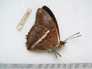 (Charaxes cynthia propinqua - BC-Turl-0398)  @12 [ ] Unspecified (default): All Rights Reserved  Unspecified Unspecified