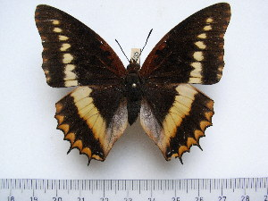 (Charaxes lucretius lucretius - BC-Turl-0405)  @14 [ ] Unspecified (default): All Rights Reserved  Unspecified Unspecified