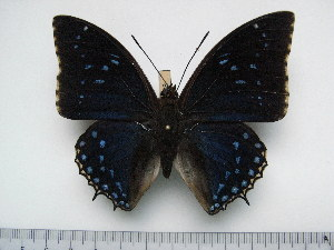 (Charaxes tiridates tiridates - BC-Turl-0408)  @13 [ ] Unspecified (default): All Rights Reserved  Unspecified Unspecified