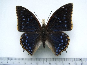 (Charaxes tiridates marginatus - BC-Turl-0410)  @13 [ ] Unspecified (default): All Rights Reserved  Unspecified Unspecified