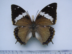 (Charaxes tiridates marginatus - BC-Turl-0411)  @13 [ ] Unspecified (default): All Rights Reserved  Unspecified Unspecified