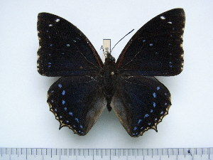 (Charaxes numenes neumanni - BC-Turl-0416)  @13 [ ] Unspecified (default): All Rights Reserved  Unspecified Unspecified