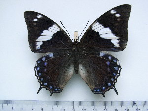 (Charaxes barnsi - BC-Turl-0419)  @14 [ ] Unspecified (default): All Rights Reserved  Unspecified Unspecified
