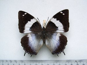(Charaxes violetta melloni - BC-Turl-0422)  @13 [ ] Unspecified (default): All Rights Reserved  Unspecified Unspecified