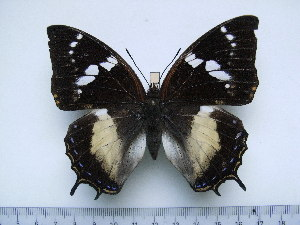 (Charaxes xiphares xiphares - BC-Turl-0424)  @13 [ ] Unspecified (default): All Rights Reserved  Unspecified Unspecified
