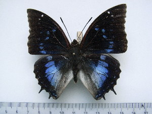 (Charaxes xiphares thyestes - BC-Turl-0425)  @14 [ ] Unspecified (default): All Rights Reserved  Unspecified Unspecified