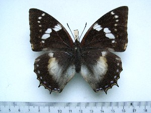 (Charaxes xiphares staudei - BC-Turl-0426)  @13 [ ] Unspecified (default): All Rights Reserved  Unspecified Unspecified