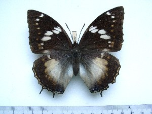 (Charaxes xiphares walwandi - BC-Turl-0427)  @12 [ ] Unspecified (default): All Rights Reserved  Unspecified Unspecified