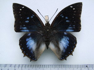 (Charaxes xiphares brevicaudatus - BC-Turl-0428)  @13 [ ] Unspecified (default): All Rights Reserved  Unspecified Unspecified