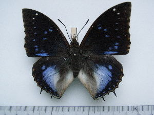 (Charaxes xiphares desmondi - BC-Turl-0429)  @14 [ ] Unspecified (default): All Rights Reserved  Unspecified Unspecified