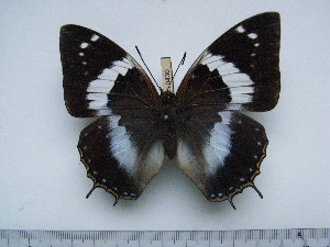 (Charaxes cithaeron cithaeron - BC-Turl-0430)  @13 [ ] Unspecified (default): All Rights Reserved  Unspecified Unspecified