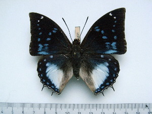 (Charaxes cithaeron kennethi - BC-Turl-0431)  @14 [ ] Unspecified (default): All Rights Reserved  Unspecified Unspecified