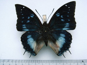 (Charaxes phenix - BC-Turl-0432)  @14 [ ] Unspecified (default): All Rights Reserved  Unspecified Unspecified