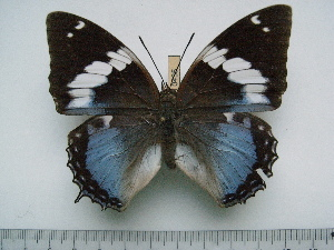 (Charaxes smaragdalis allardi - BC-Turl-0435)  @13 [ ] Unspecified (default): All Rights Reserved  Unspecified Unspecified