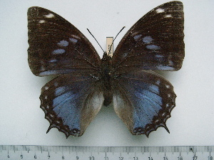 (Charaxes smaragdalis caerulea - BC-Turl-0437)  @13 [ ] Unspecified (default): All Rights Reserved  Unspecified Unspecified
