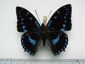 (Charaxes ameliae doumeti - BC-Turl-0439)  @14 [ ] Unspecified (default): All Rights Reserved  Unspecified Unspecified