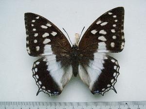 (Charaxes ameliae ameliae - BC-Turl-0440)  @14 [ ] Unspecified (default): All Rights Reserved  Unspecified Unspecified