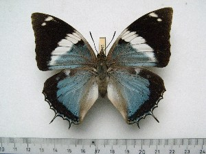 (Charaxes matakall - BC-Turl-0445)  @14 [ ] Unspecified (default): All Rights Reserved  Unspecified Unspecified