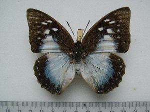 (Charaxes pythodoris nesaea - BC-Turl-0447)  @14 [ ] Unspecified (default): All Rights Reserved  Unspecified Unspecified