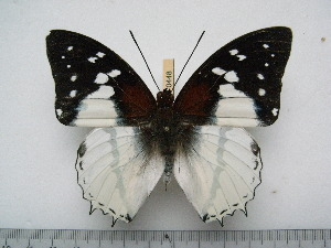 (Charaxes hadrianus - BC-Turl-0448)  @14 [ ] Unspecified (default): All Rights Reserved  Unspecified Unspecified