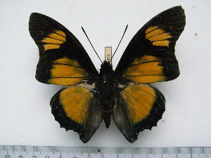 (Charaxes fournierae fournierae - BC-Turl-0454)  @14 [ ] Unspecified (default): All Rights Reserved  Unspecified Unspecified