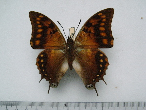 (Charaxes velox - BC-Turl-0458)  @13 [ ] Unspecified (default): All Rights Reserved  Unspecified Unspecified