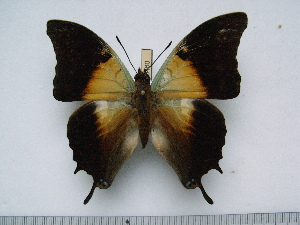 (Charaxes thomasius - BC-Turl-0460)  @13 [ ] Unspecified (default): All Rights Reserved  Unspecified Unspecified