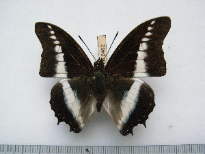 (Charaxes hildebrandti gillesi - BC-Turl-0462)  @14 [ ] Unspecified (default): All Rights Reserved  Unspecified Unspecified