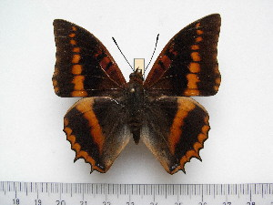 (Charaxes lemosi - BC-Turl-0400)  @14 [ ] Unspecified (default): All Rights Reserved  Unspecified Unspecified
