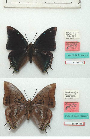(Charaxes berkeleyi marci - BC-EV1132)  @11 [ ] Unspecified (default): All Rights Reserved  Unspecified Unspecified