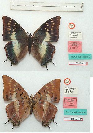 (Charaxes berkeleyi marci - BC-EV1133)  @11 [ ] Unspecified (default): All Rights Reserved  Unspecified Unspecified
