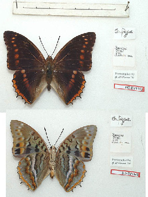(Charaxes fuscus - BC-EV1143)  @11 [ ] Unspecified (default): All Rights Reserved  Unspecified Unspecified