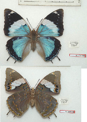 (Charaxes matakal - BC-EV1145)  @11 [ ] Unspecified (default): All Rights Reserved  Unspecified Unspecified