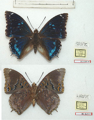 (Charaxes mixtus tanzanicus - BC-EV1147)  @11 [ ] Unspecified (default): All Rights Reserved  Unspecified Unspecified