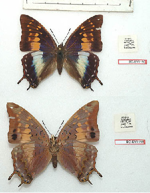 (Charaxes etheocles evansi - BC-EV1150)  @11 [ ] Unspecified (default): All Rights Reserved  Unspecified Unspecified