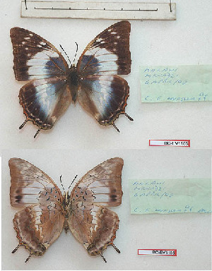 (Charaxes ethalion nyassana - BC-EV1165)  @11 [ ] Unspecified (default): All Rights Reserved  Unspecified Unspecified