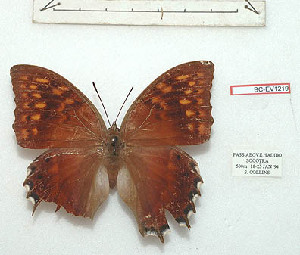 (Charaxes balfouri - BC-EV1219)  @11 [ ] Unspecified (default): All Rights Reserved  Unspecified Unspecified