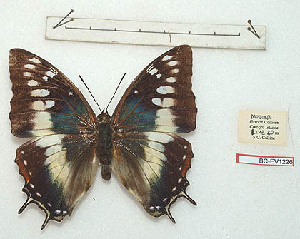(Charaxes paradoxa - BC-EV1226)  @12 [ ] Unspecified (default): All Rights Reserved  Unspecified Unspecified