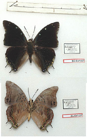 (Charaxes udzungwa - BC-EV1227)  @11 [ ] Unspecified (default): All Rights Reserved  Unspecified Unspecified