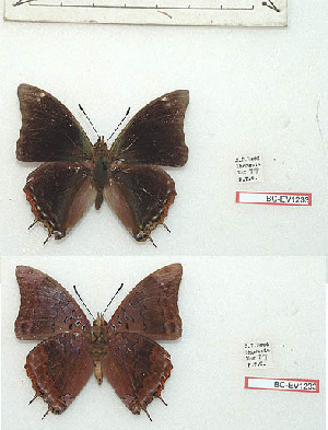 (Charaxes chittyi - BC-EV1233)  @11 [ ] Unspecified (default): All Rights Reserved  Unspecified Unspecified
