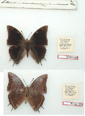 (Charaxes alpinus - BC-EV1234)  @11 [ ] Unspecified (default): All Rights Reserved  Unspecified Unspecified