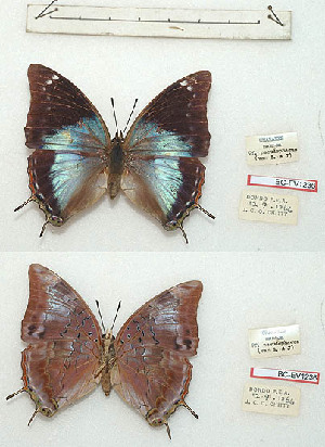 (Charaxes manica f. pseudophaeus - BC-EV1236)  @11 [ ] Unspecified (default): All Rights Reserved  Unspecified Unspecified