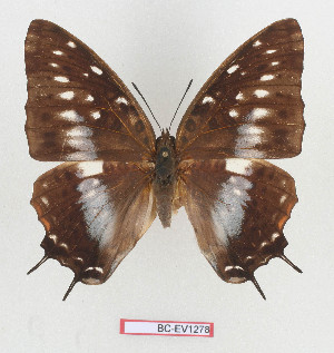 (Charaxes etesipe - BC-EV1278)  @15 [ ] Unspecified (default): All Rights Reserved  Unspecified Unspecified