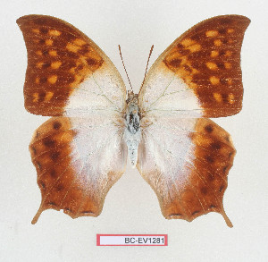 (Charaxes varanes - BC-EV1281)  @11 [ ] Unspecified (default): All Rights Reserved  Unspecified Unspecified
